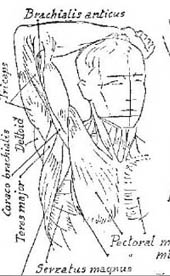 front of male figure arm on head, showing muscles of arm and upper chest