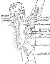 back of male figure showing details of muscles of upper back, neck and right arm