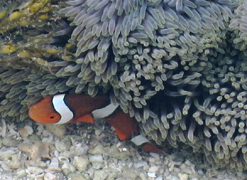 Nemo peers out from sea grasses at Low Isles