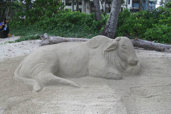 Brahman Cow sand sculpture is finished