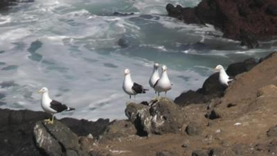 Black gulls on Akatapu