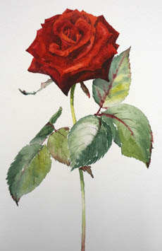 watercolour painting of a red rose