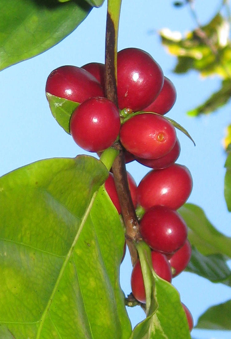 Ripe, red coffee beans growing in my garden, green leaves and blue sky behind.