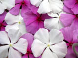 pink and white vinca flowers
