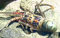 'Painted cray' washed up on rocks at Low Isles