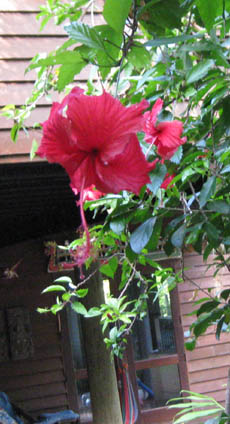 Red hibiscus flowers near entrance to house