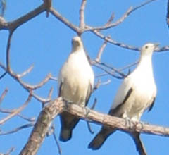 A pair of Torres Strait pigeons on beach almond tree