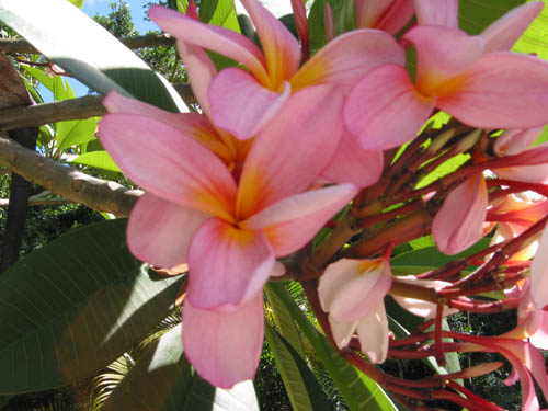 Close-up photo of pink frangipanis