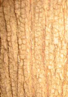 Rough, golden coloured tree bark
