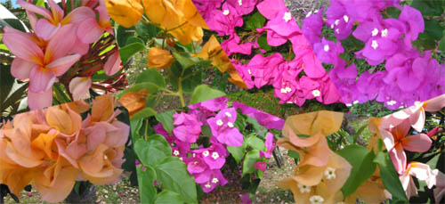 Photos of tropical bougainvillea and fragipani flowers merged