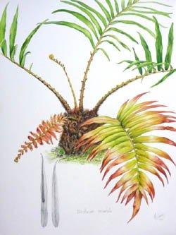 Julie Mc Enerny rainforest watercolour study of blechnumorientale