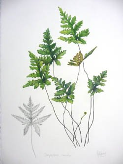 Water colour study of Doryopterisconcolor by Julie McEnerny