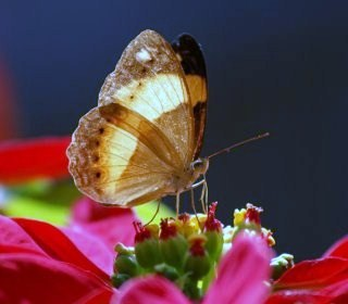 A Yoma Sabina Butterfly